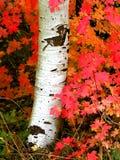 Nedgångbjörkträd med Autumn Leaves i bakgrund Fotografering för Bildbyråer