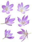 Nedgångblommor: Violet Crocus Flowers Royaltyfri Bild