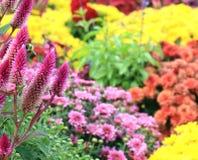 Nedgången blommar med ett bi Arkivfoto