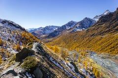 Nedgången färgar i det höga berget, lärkträd förlorar sidor Ayas dal, Aosta Italien Arkivfoton