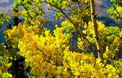 Nedgången färgar slående guld med asp- träd i Rocky Mountain National Park, Colorado Royaltyfria Foton