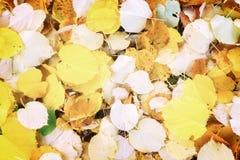 Nedgången för alträdet lämnar bakgrund Royaltyfri Foto