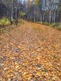Nedgången lämnar att matta den slingriga skogbanan, Alberta, Kanada royaltyfri foto