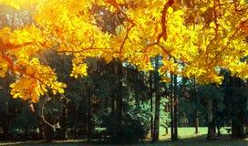 Nedgången lämnar bakgrund - ekfilial med orange lövverk som tänds av solsken, soligt nedgånglandskap i ljust solljus fotografering för bildbyråer