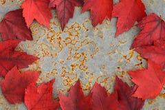 Nedgångfärg - röda sidor Arkivfoto
