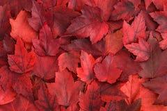 Nedgångfärg - röda sidor Royaltyfria Bilder