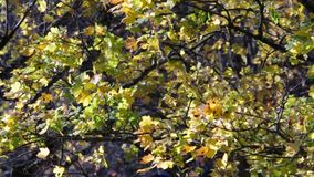 Nedgånglönnblad i vind arkivfilmer