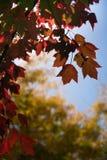 Nedgånglövverk, closeup av färgrika röda orange och gula lönnlöv i höst, Kanada Vancouver, F. KR. arkivbild
