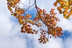 Nedgånglövverk, filial av färgrika röda apelsin- och gulingsidor och en blå himmel med moln i höst, Kanada arkivfoton