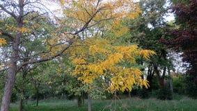 Nedgånglövverk - guld- gula trädsidor - Ile de Puteaux, Frankrike Fotografering för Bildbyråer