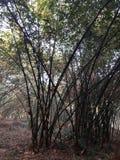 Nedgånglövverk på bambuskogen Arkivbild