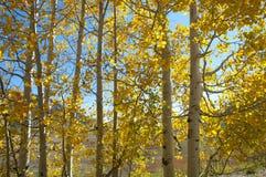 Nedgånglövverk på gula Aspen Trees som av visar deras Autumn Colors royaltyfria bilder