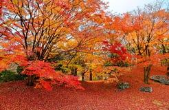 Nedgånglandskap av brännheta lönnträd i en japanträdgård i Sento imperialistisk slottkunglig person parkerar i Kyoto arkivbild