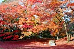 Nedgånglandskap av brännheta lönnträd i en japanträdgård i Sento imperialistisk slottkunglig person parkerar i Kyoto, Japan royaltyfri fotografi