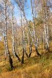 Nedgånglandskap: Björkskog med guld- lövverk på flank av kullen på Sunny Day royaltyfri fotografi
