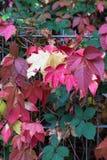 nedgångmånaden oktober visar färgrika röda och gröna sidor på en fenc Royaltyfri Foto