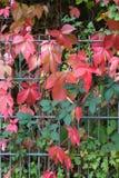 nedgångmånaden oktober visar färgrika röda och gröna sidor på en fenc Royaltyfria Bilder