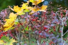 nedgångmånaden oktober visar färgrika röda och gröna sidor på en fenc Arkivfoto