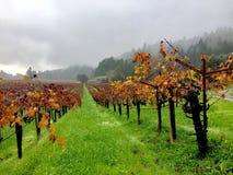 Nedgångregn i vingårdarna royaltyfria bilder