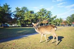 Nedgångsäsong av den Nara staden, Japan med trevlig yellowred färg Arkivfoton