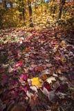 Nedgångskoggolv med höstlönnlöv Royaltyfri Bild