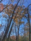 Nedgångträd och sidor med blå himmel Arkivfoton