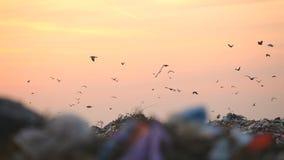 Nedgrävning av sopor och fåglar på solnedgången arkivfilmer