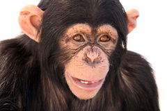 Need A Dentist. Closeup of a Chimpanzee with a funny expression Royalty Free Stock Image