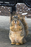 In need of a diet. Chubby squirrel sitting in front of a bench in winter Royalty Free Stock Images
