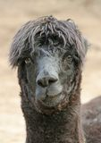 Need a face-lift. Alpaca in western cape,south africa Royalty Free Stock Images