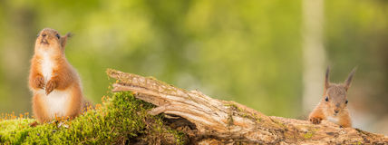 Need some distance. Two young red squirrels standing on moss royalty free stock image