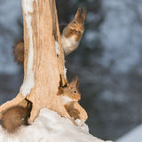 Need some help. Close up of two red squirrels which are holding on and sitting in a tree tree trunk stock image