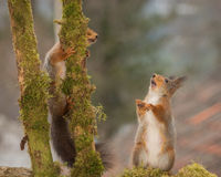 Need some help. Red squirrels standing between 2 branches with moss royalty free stock image