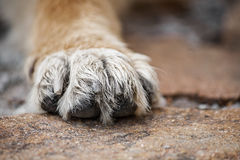 Need some shelter. Close up image of a paw of homeless dog Royalty Free Stock Image