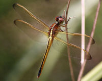 Needham's skimmer dragonfly. With wings outspread showing off beautiful golden color Royalty Free Stock Photos