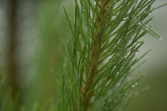 Needle branch green trees after rain Stock Photos