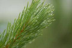 Needle branch green trees after rain Royalty Free Stock Images