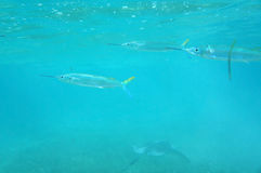 Needle Fish Stock Photo