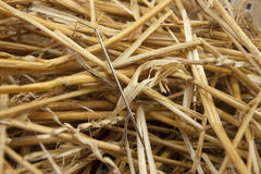 Needle in a haystack. A concept image of a sewing needle in a haystack Stock Images