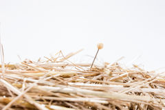 A needle is in the haystack. Proverb for challenge and search Royalty Free Stock Image