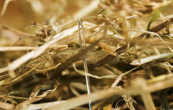 Needle in a haystack Royalty Free Stock Photography