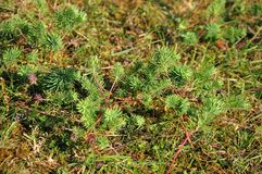 Needle like leaves of a cypress spurge in summer. Foliage of cypress spurge, euphorbia cypariassis, with red plant stems on meadow in summer royalty free stock image