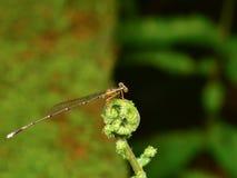 Needle Mangpor. Mangpor spike closeup isolated nature Royalty Free Stock Photo