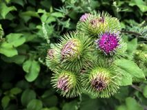 Needle plant usually grow in the garden. royalty free stock photography