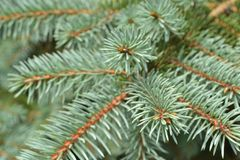 needle spruce close-up royalty free stock images