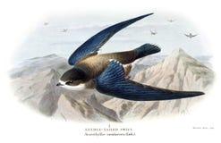 Needle-Tailed Swift royalty free stock photos