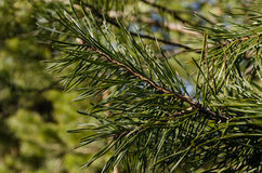 Needled-Anlagen-wildnature hohe Auflösung lizenzfreies stockbild