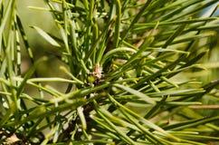 Needled rośliny wildnature wysoka definicja obraz royalty free