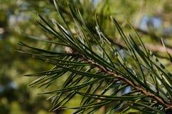 Needled rośliny wildnature wysoka definicja Obrazy Royalty Free