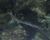 Needlefish Стоковое Изображение RF